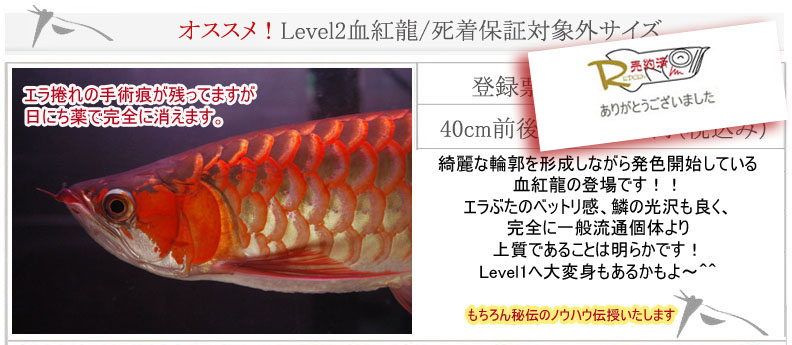 Level2血紅龍40cm