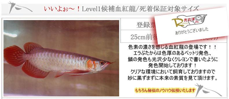 Level1候補血紅龍25cm