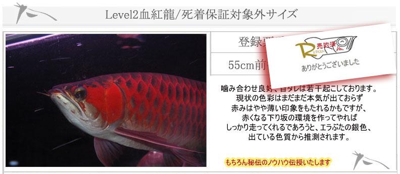 55cm Level2血紅龍