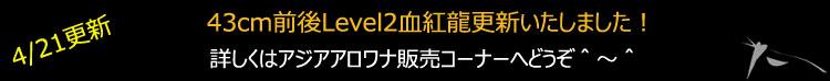 43cmLevel2血紅龍