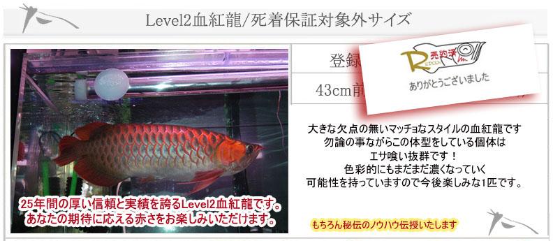 43cm Level2血紅龍