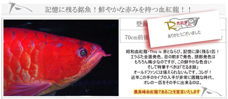 70cm血紅龍